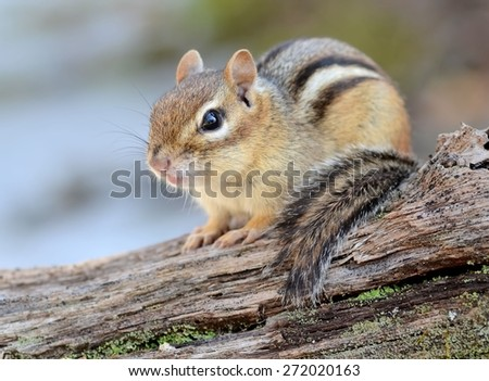 Adorable little chipmunk sitting on a fallen tree  - stock photo