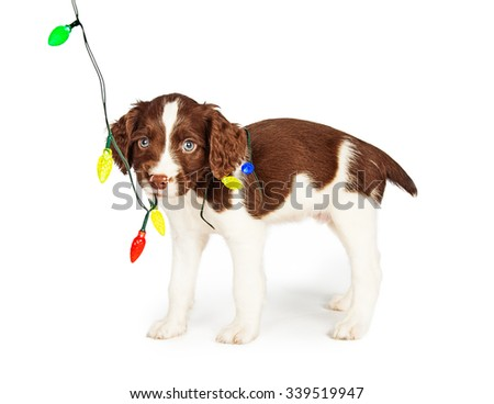 Adorable little English Springer Spaniel puppy chewing on colorful Christmas lights - stock photo