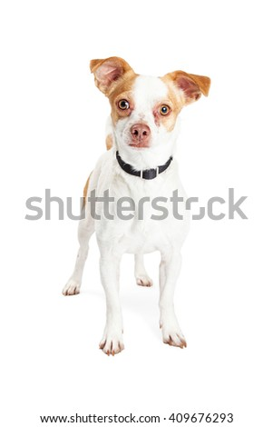 Adorable little mixed Chihuahua breed dog standing on white background looking forward into camera - stock photo