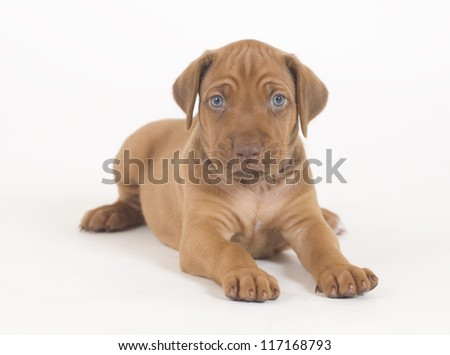 Adorable little Rhodesian Ridgeback puppy isolated on white background. The little hound dog is lying down and looking straight into the camera. - stock photo