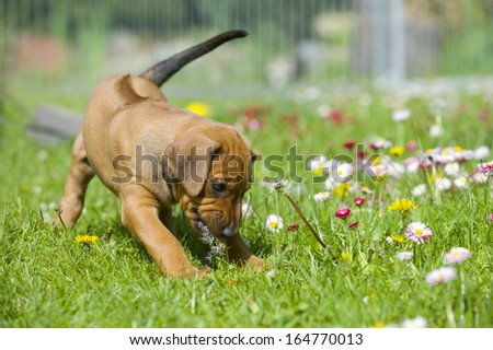 Adorable little Rhodesian Ridgeback puppy playing in the backyard with daisy flowers. Funny expression in its face. The little dogs are five weeks of age. - stock photo