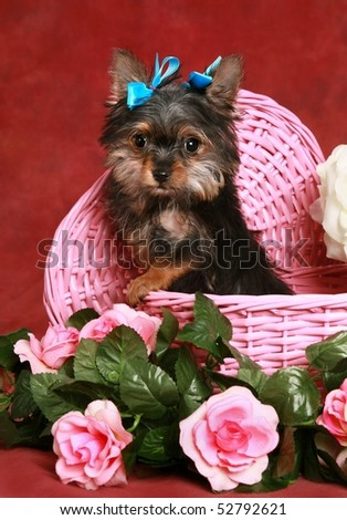 adorable little Yorkie puppy in pink basket with flowers - stock photo