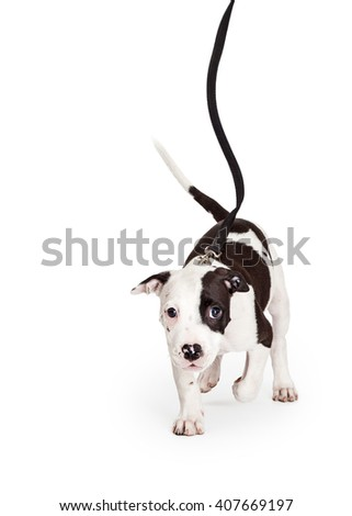 Adorable little young Pit Bull puppy dog walking forward on a leash. Isolated on white.  - stock photo