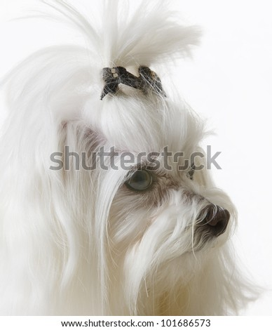 Adorable long haired white Teacup Maltese isolated on white - stock photo