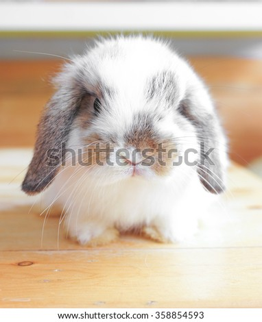 Adorable Looking Rabbits on wooden table full with curiosity, Holland Lop Pure Breed, Selective Focus  - stock photo