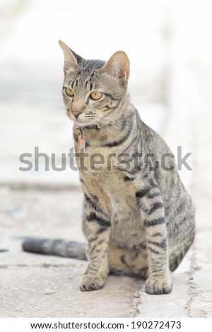 adorable meowing tabby kitten  - stock photo