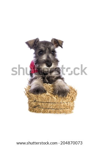 Adorable Miniature Schnauzer puppy dressed for the country in red bandana scarf and straw bail isolated on white background - stock photo