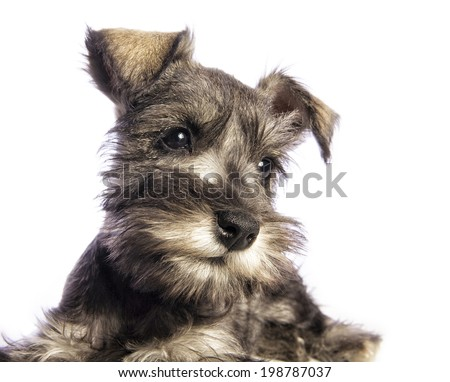 Adorable Miniature Schnauzer puppy head shot looking to the side isolated on white background - stock photo