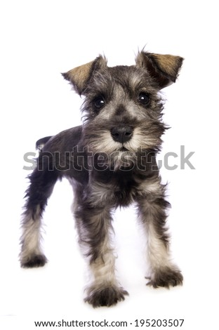 Adorable Miniature Schnauzer puppy isolated on white background - stock photo