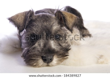 Adorable Miniature Schnauzer puppy lying down isolated on white background - stock photo