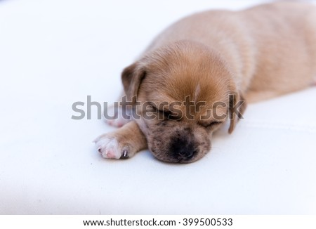 Adorable Month Old Little Puppy Sleeping Outside on Summer Day - stock photo