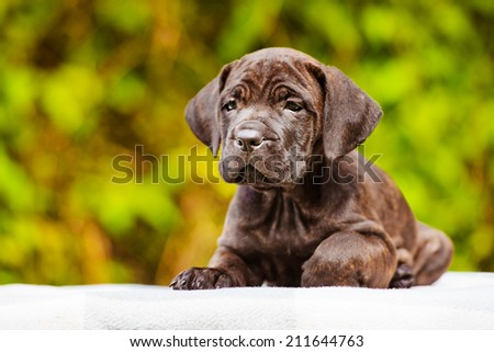 adorable one month old cane corso puppy - stock photo