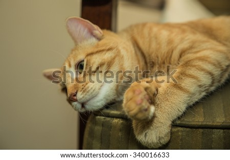 Adorable orange Tabby cat posing for professional photo on chair - paws crossed like a model - stock photo