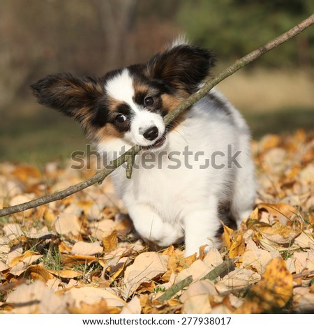 Adorable papillon puppy playing with a stick in autumn - stock photo