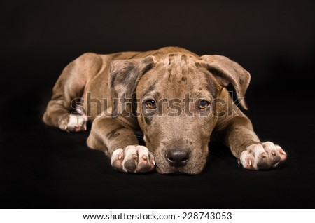 Adorable pitbull puppy lying on a black background - stock photo