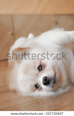 Adorable Pomeranian Puppy Dog Lying on the Wooden Floor, Selective Focus on nose - stock photo
