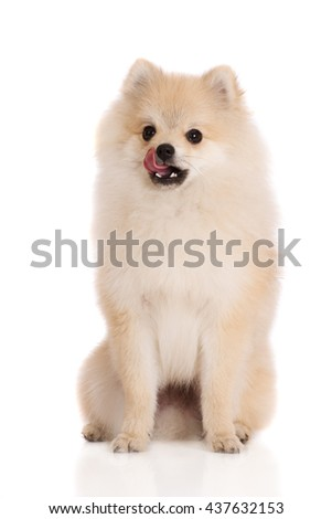 adorable pomeranian spitz puppy licks nose - stock photo