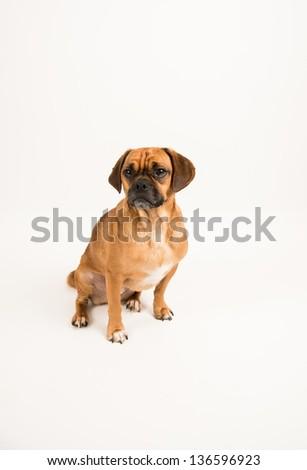 Adorable Puggle Dog on White Background - stock photo