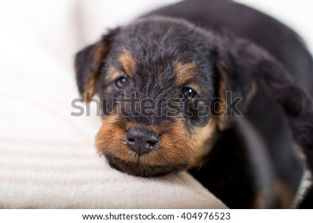 Adorable puppy looking at the camera  - stock photo