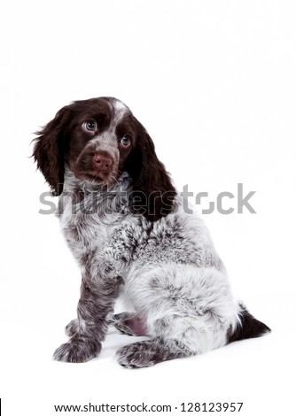 Adorable puppy spaniel - stock photo