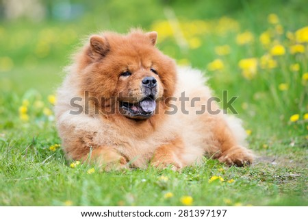 adorable red chow chow dog outdoors - stock photo