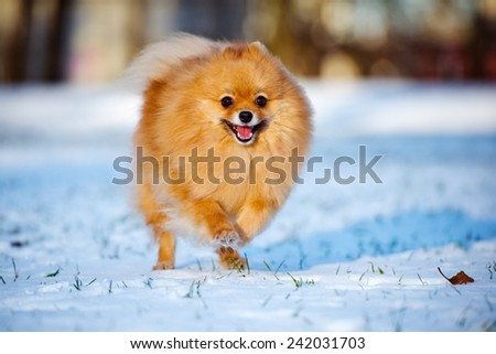 adorable red pomeranian spitz dog running on the snow - stock photo