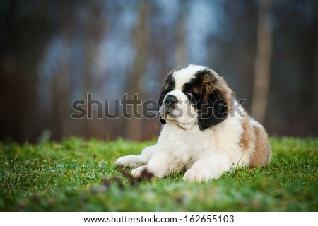 Adorable saint bernard puppy - stock photo
