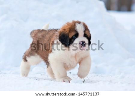 Adorable saint bernard puppy walking outside in winter - stock photo