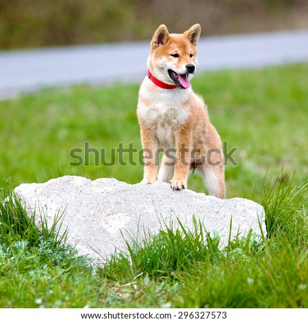 adorable shiba inu puppy standing on a stone - stock photo