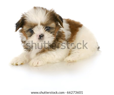 adorable shih tzu puppy laying down on white background - 6 weeks old - stock photo
