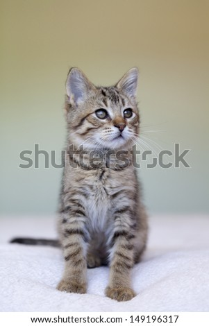 adorable shorthair gray tabby kitten sitting on bed - stock photo