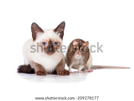 Adorable siamese kitten with a rat - stock photo