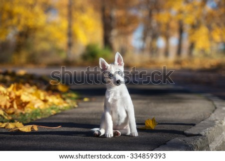 adorable siberian husky puppy sitting outdoors in autumn - stock photo