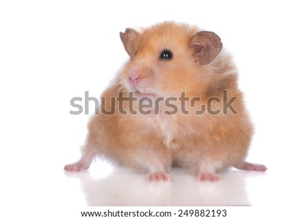 adorable small hamster on white background - stock photo
