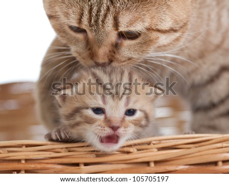 Adorable small kitten with mother cat in basket - stock photo