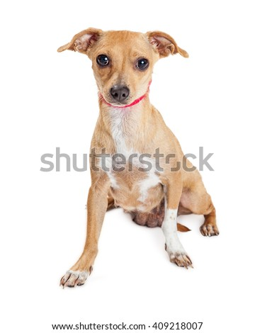 Adorable small mixed breed dog wearing red collar sitting on white background looking forward into camera - stock photo
