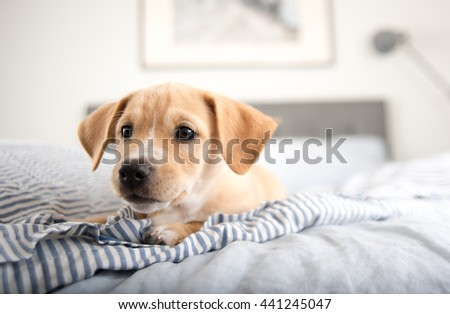 Adorable Small Terrier Mix Puppy Laying on Striped Bed - stock photo