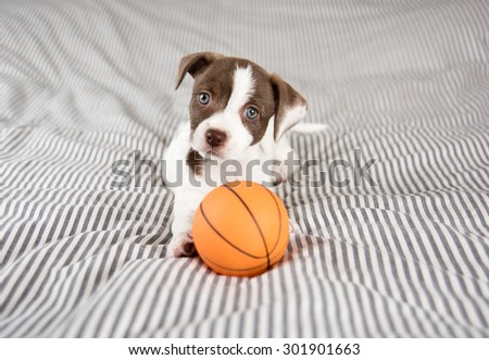 Adorable Small Terrier Mix Puppy Relaxing on Striped Bed with Small Basketball Toy - stock photo