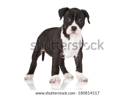 adorable staffordshire terrier puppy - stock photo