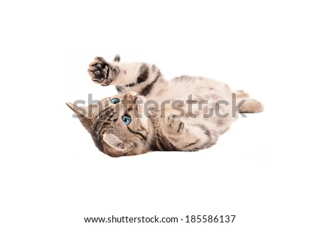 Adorable tabby kitten with blue eyes laying on its back on a white background - stock photo