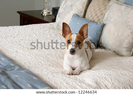 Adorable terrier laying on a queen size bed almost looks like a stuffed animal. - stock photo