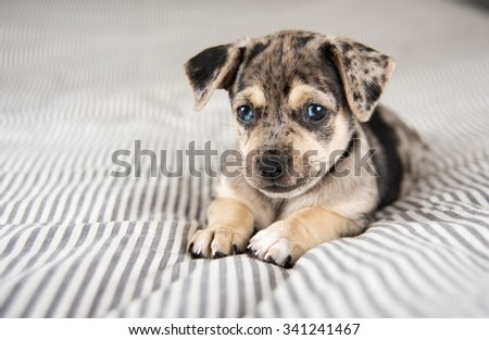 Adorable Terrier Mix Marble Colored Puppy on Bed - stock photo
