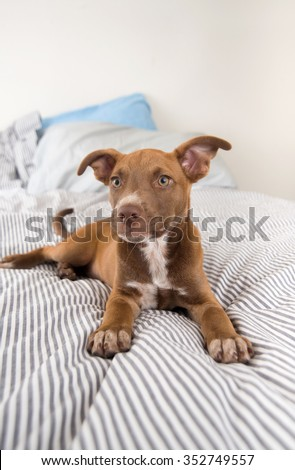 Adorable Terrier Mix Puppy Playing On Striped Blanket - stock photo