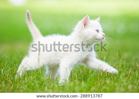 Adorable white kitten with blue eyes walking in summer - stock photo