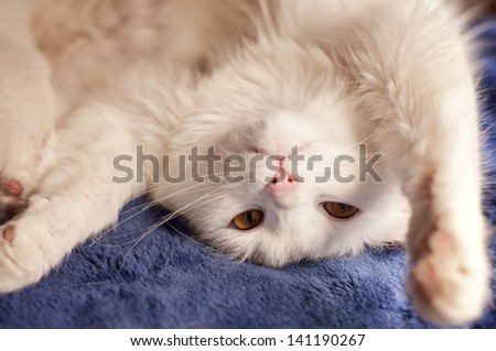 Adorable white Persian cat - stock photo