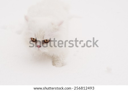 Adorable white Persian cat in snow - stock photo