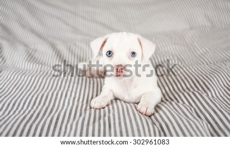 Adorable White Small Terrier Mix Puppy with Blue Eyes Relaxing on Striped Bed - stock photo