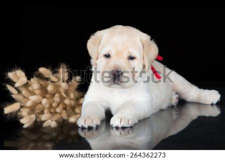 adorable yellow labrador retriever puppy - stock photo
