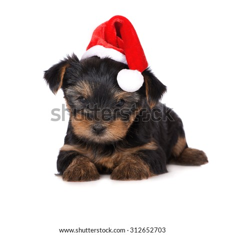adorable yorkie puppy in a santa hat - stock photo