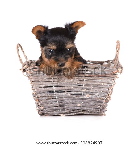 adorable yorkshire terrier puppy in a basket - stock photo